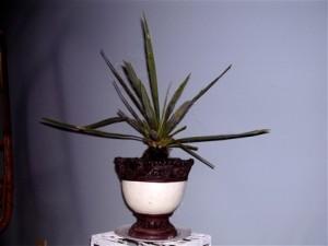 yucca-baby1
